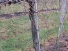 Some producing Marechal Foch vines at Wollersheim are 40 years old.